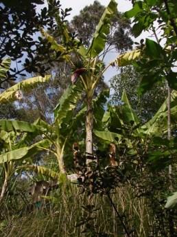 flowering-and-fruiting-banana-plant-on-permadynamics-plantation